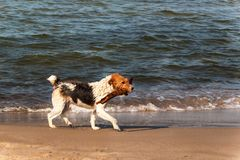Dog swims in the sea. The dog is playing in the waves of the Baltic Sea. Fun in the water. Stock Photos