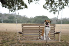 Dog in Swing Royalty Free Stock Images