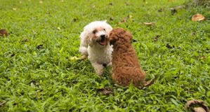 Lovely dogs . Playing in the green grass garden. Dogs are so cute!. Sometimes, they have emotion like people Royalty Free Stock Photo