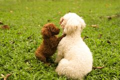 Lovely Dogs, puddle,  couples in the green grass garden. Dogs are so cute!. Sometimes, they have emotion like people. Playing in the green grass garden Stock Image