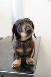 Dog at table from veterinarian Royalty Free Stock Photos