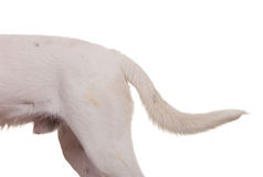 Dog tail Stock Photography