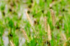 Dog tail grass Royalty Free Stock Photos