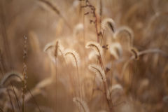 Dog tail grass Stock Images