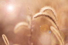 Dog tail grass Royalty Free Stock Image