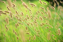 Dog  tail grass Stock Photos