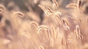 Dog tail grass in the sunshine of autumn Stock Images