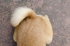 Dog tail Royalty Free Stock Image