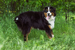 Dog. A tailless black dog standing in the forest Stock Photography