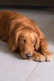 Dog. Taken indoors Royalty Free Stock Photo