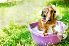 The dog takes a bath Royalty Free Stock Photo