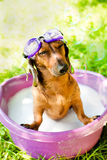 The dog takes a summer bath Royalty Free Stock Image