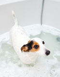 Dog taking a bath in a bathtub Stock Photos