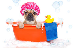 Dog taking a bath in a colorful bathtub with a plastic duck stock image