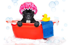 Dog taking a bath in a colorful bathtub with a plastic duck Royalty Free Stock Images
