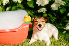 Dog taking a bath in a colorful bathtub with a plastic duck royalty free stock image