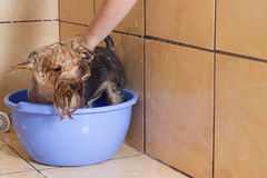 Dog taking a bath in the shower stock image