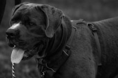 Dog taking a breath. In black and white stock image