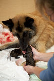 Dog taking care of newborn puppy. A female belgian shepherd taking care of one of her newborn puppies and the breeder giving a helping hand Royalty Free Stock Photography