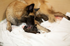 Dog taking care of newborn puppy. A female belgian shepherd taking care of one of her newborn puppies Stock Photography