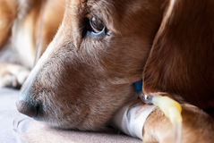Dog taking infusion closeup Royalty Free Stock Photos