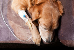 Dog taking infusion from top perspective Royalty Free Stock Image