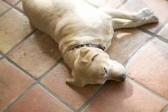 Dog taking a nap Royalty Free Stock Photos