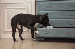 The dog taking out the newspaper from the dresser. Black pit bull or staphorshire terrier playing at the vintage interior Royalty Free Stock Photos