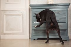 The dog taking out the newspaper from the dresser. Black pit bull or staphorshire terrier playing at the vintage interior Stock Photos