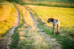 Dog taking a road through field stock photo