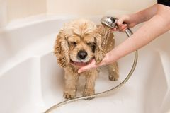 A dog taking a shower. American cocker spaniel taking a shower in bathroom royalty free stock image