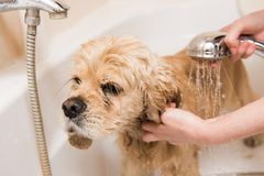 A dog taking a shower. American cocker spaniel in bathroom royalty free stock photography