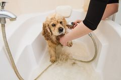 Dog is taking a shower at home. American cocker spaniel is taking a shower at home royalty free stock photos