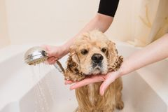 Dog is taking a shower at home. American cocker spaniel is taking a shower at home. Happiness dog taking a bath royalty free stock image