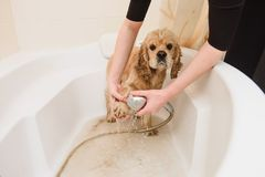 Dog is taking a shower at home. American cocker spaniel is taking a shower at home. Woman cleans a paw to a dog stock photography