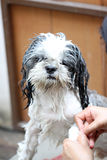 Dog taking a shower with soap and water. Royalty Free Stock Photo