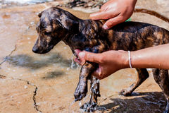 Dog taking a shower with soap and water. Royalty Free Stock Photography