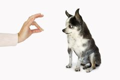 Dog taking a treat. A chihuahua dog with big ears takes a treat from a womans hand stock photo