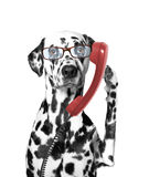 The dog is talking over the old phone. The dog is talking over the old red phone Royalty Free Stock Photo