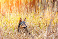 Dog in tall grass royalty free stock image