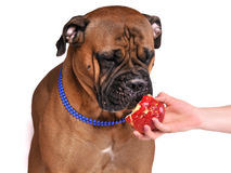 Dog tasting apple Royalty Free Stock Images