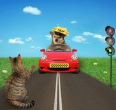 Dog taxi driver and a cat. The dog taxi driver in a yellow cap in a red car drives past a cat at a traffic light royalty free stock photography