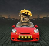 Dog taxi driver at work. The dog taxi driver in a yellow cap is in a red car at work on the highway at night stock photography