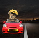Dog taxi driver at work 2. The dog taxi driver in a yellow cap is in a red car at work on the highway at night stock photo