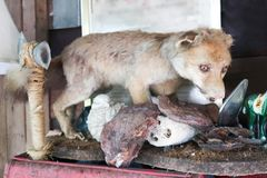 Dog taxidermy remains on timber. Stuffed to decorate Royalty Free Stock Photography