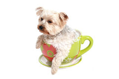 Dog in tea cup Royalty Free Stock Image