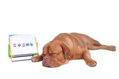 Dog teaching math Royalty Free Stock Photo