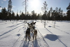 Dog team in winterland Stock Photography