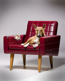 Dog tearing leather armchair. Royalty Free Stock Photos
