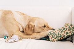 Dog tearing up Christmas present Royalty Free Stock Images